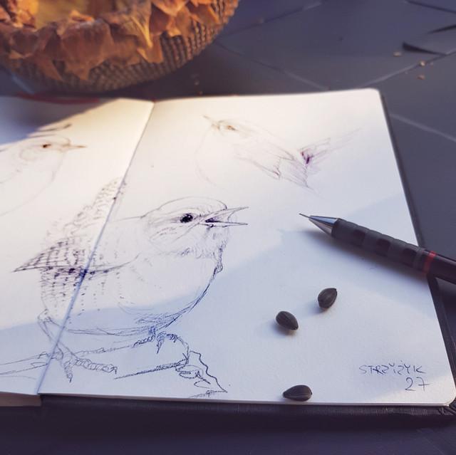 Wren | Strzyżyk