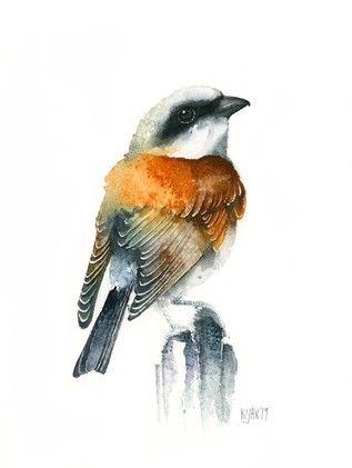 Red-backed shirke, watercolour painting, size 20x30cm