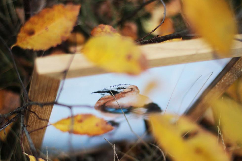 Framed watercolor eurasian jay
