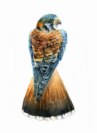 Common kestrel, watercolour painting, size 28x38cm