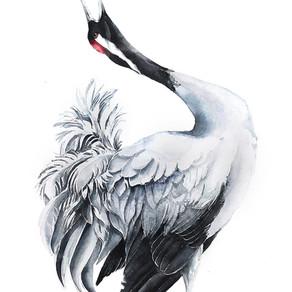 Żuraw zwyczajny   Common Crane