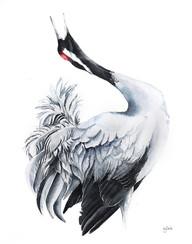 Common Crane | Żuraw 05