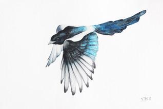 Magpie, watercolour painting, size 37x58cm