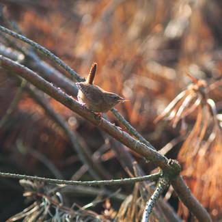 Wren / strzyżyk