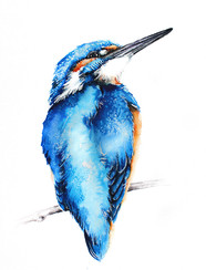 Kingfisher | Zimorodek 12