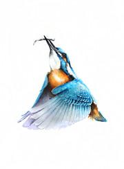 Kingfisher | Zimorodek 16