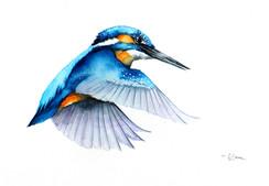 Kingfisher | Zimorodek 14