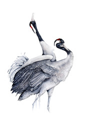 Common Crane | Żuraw 03