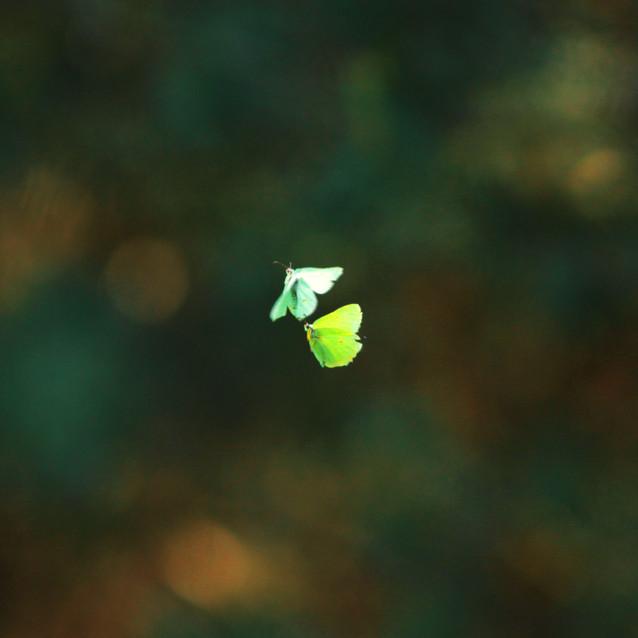 Butterfly's dance / Motyle latolistki cytrynki w tańcu godowym