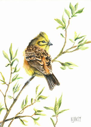 Yellowhammer, watercolour painting, size 20x30cm