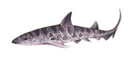 Leopard shark, Karolina Kijak H&M