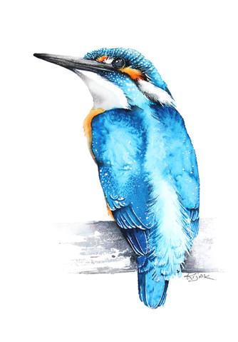 Kingfisher | Zimorodek  01