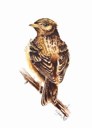 Sky lark, watercolour painting, size 20x30cm | Skowronek, obraz akwarela w rozmiarze 20x30cm