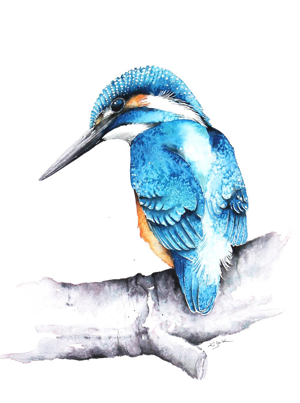 Kingfisher illustrations