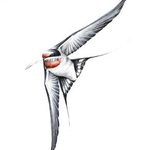 Jaskółka Dymówka   Barn swallow
