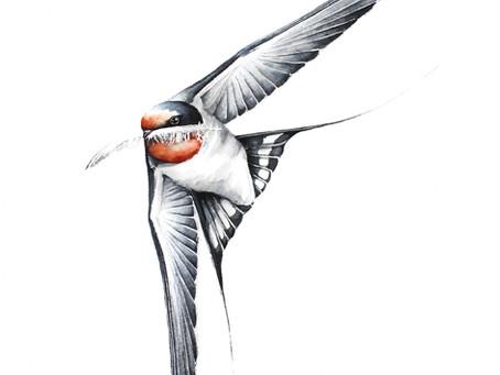 Jaskółka Dymówka | Barn swallow