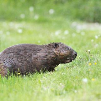 Beaver / Bóbr