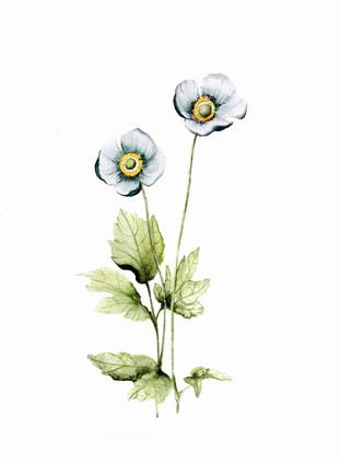 white poppies, watercolour painting, size 20x30cm | Białe maki, obraz akwarela w rozmiarze 20x30cm