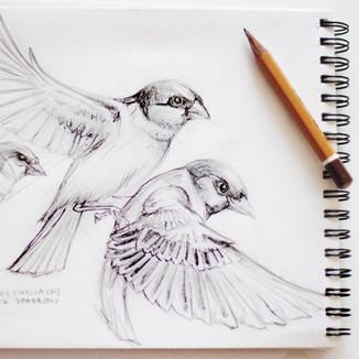 House sparrows   wróbel zwyczajny