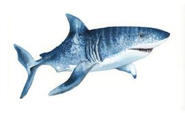 Tiger shark, Karolina Kijak H&M
