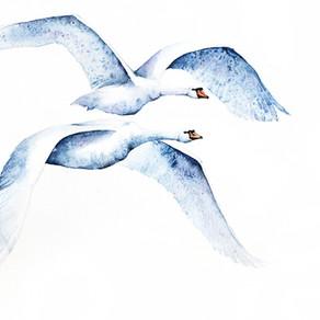 Łabędź Niemy   Mute Swan