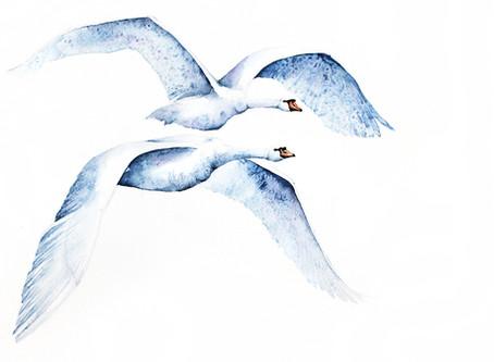 Łabędź Niemy | Mute Swan