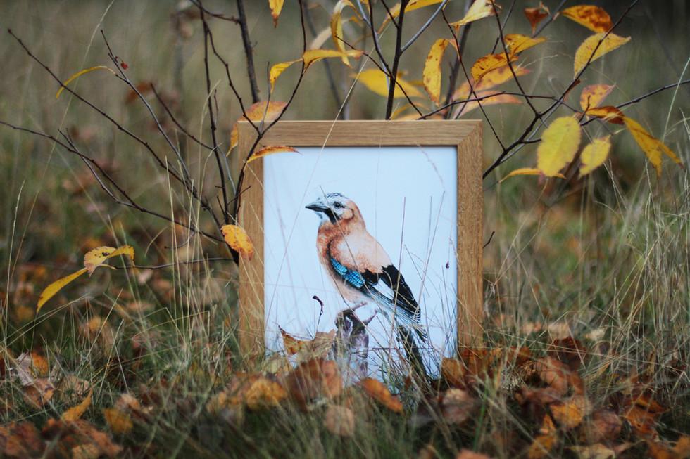 Framed watercolor eurasian jay 2