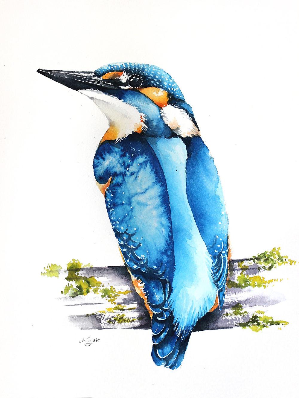 Zimorodek ilustracje przyrodnicze