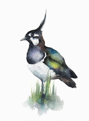 Lapwing, watercolour painting, size 28x38cm
