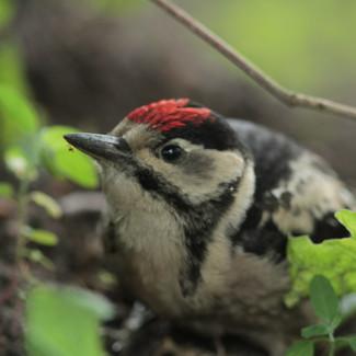 Great woodpecker   Dzięcioł duży