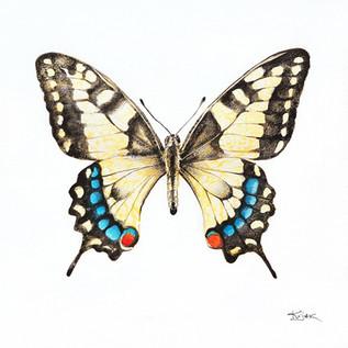 Butterfly swallowtail, watercolour painting, size 30x30cm | Motyl paź królowej, obraz akwarela w rozmiarze 30x30cm