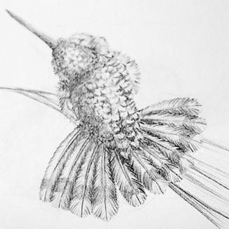 Humingbird   Koliber