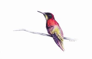 Hummingbird, watercolour painting, size 20x30cm | Koliber, obraz akwarela w rozmiarze 20x30cm