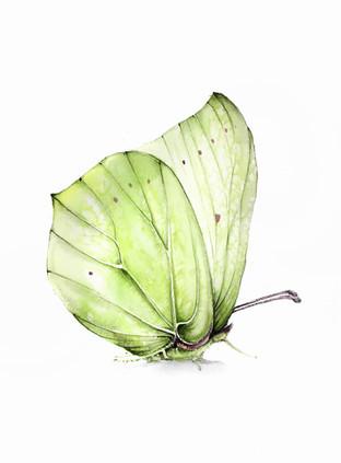 Butterfly the common brimstone, watercolour painting, size 30x40cm | Latolistek cytrynek, obraz akwarela w rozmiarze 30x40cm