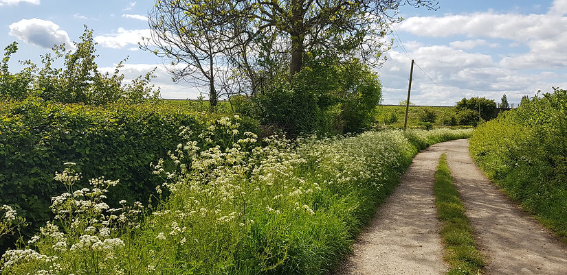 otswold countryside lane with cow parsley growing