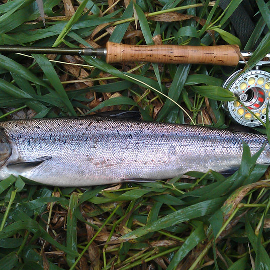 Salmon - River Tweed