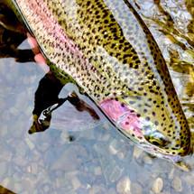 Rainbow Trout - Scottish Loch