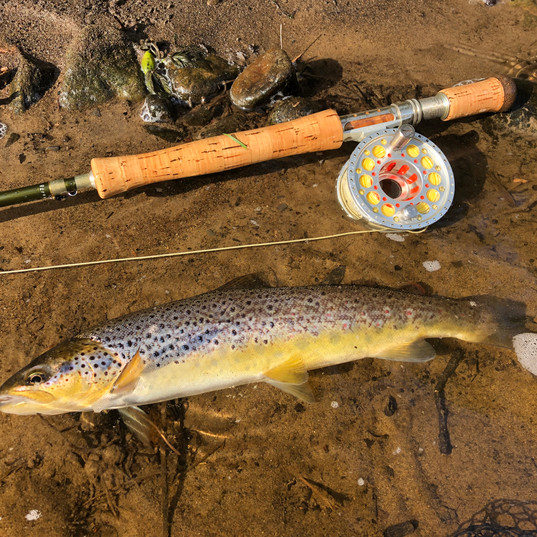 Wild Brown Trout - River Tweed