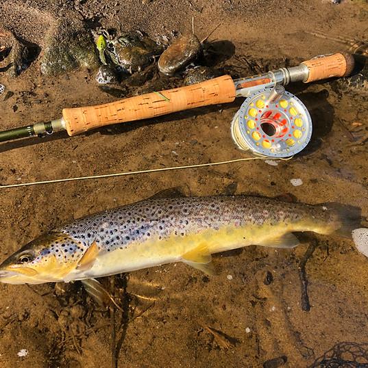 Wild Brown Trout - River Tweed