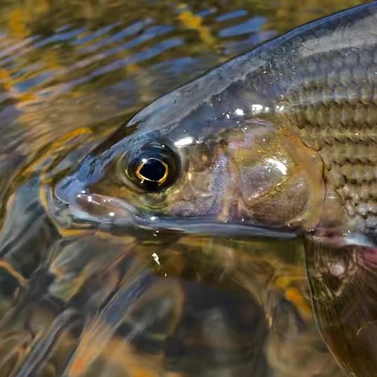 Grayling - River Tweed