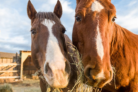 A closeup of two horses eating hay.jpg
