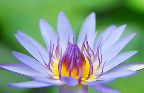 iStock_lotus-000003379418Medium-web-size