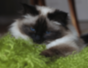 Birman Health Foundation, Cardiomyopathy Problem in Birman cats