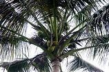 12 Arboles 007 El Cocotero, la Palma de