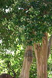 12 Arboles 018 Malagueta.jpg