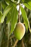 12 Arboles 006 Mango.jpg