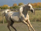 Dahabi Arabians :: Mia Dolce