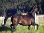 Dahabi Arabians :: WMA Hearts Desire