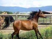 Dahabi Arabians :: RBF Charade