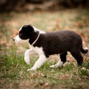 Texas x Roja Pup